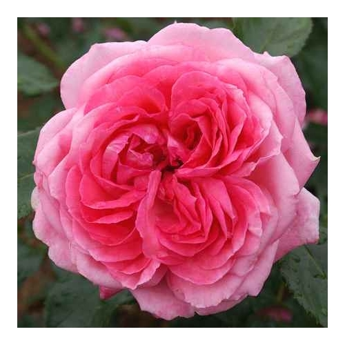 La rose de Molinard  (DELgrarose)