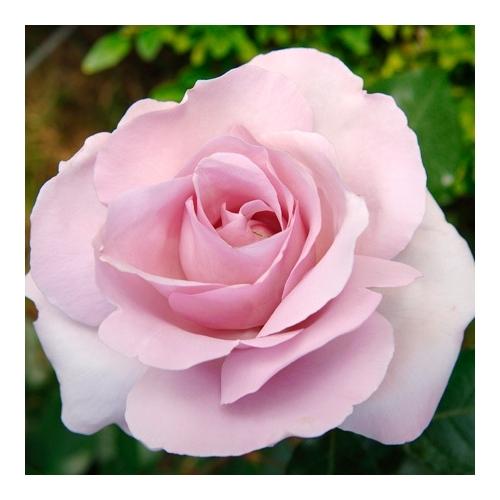 La rose du Petit Prince  (DELgramau)