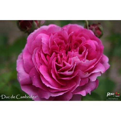 Duc de Cambridge