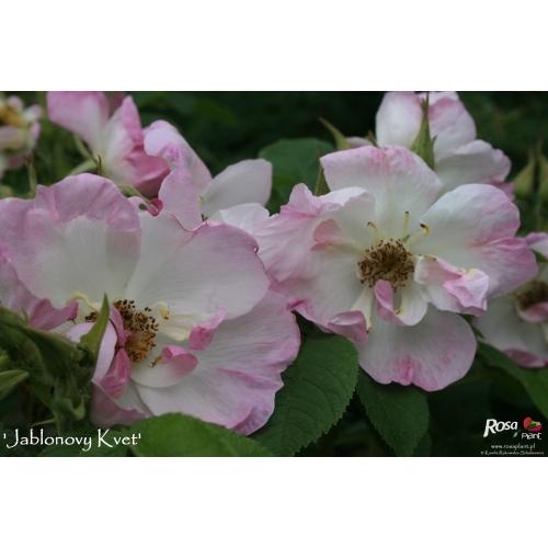 Jablonovy Kvet