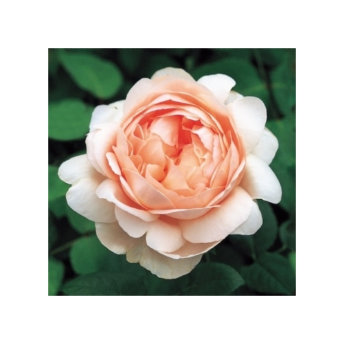 Ambridge Rose ®  (AUSwonder)