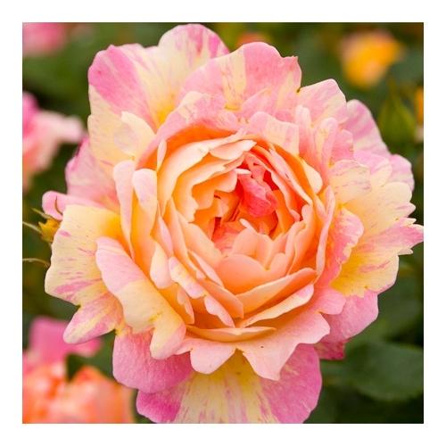 Rose des Cisterciens  (DELarle, DELstor)