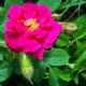 Henri Martin (Red Moss)