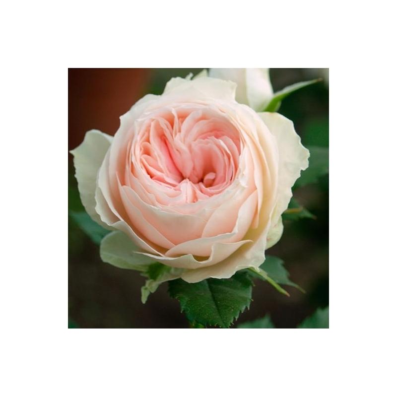 Pashmina ®  ( Pompon Flower Circus ® )  KORascha