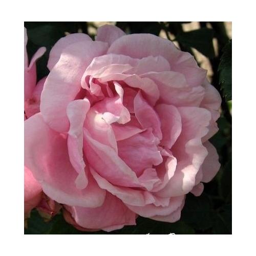 Gerbe Rose