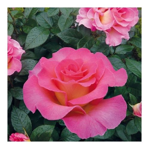 Pink Paradise (DELfluoro)