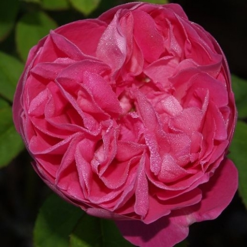 De la Vina Mystery Rose