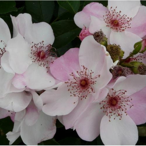'Sweet Pretty' (syn. 'Astronomia')