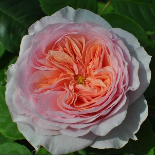 Rose von Münster ®