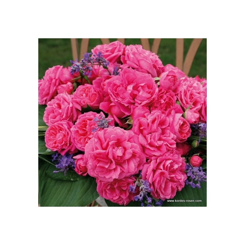 Pink Flower Circus ®  ( Moin Moin ® )
