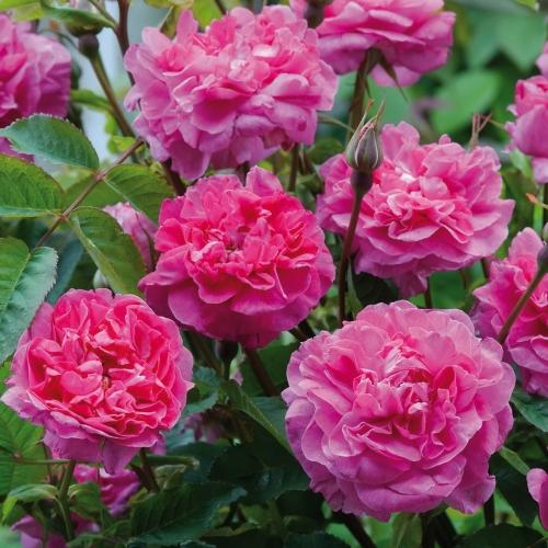 England's Rose ®  (AUSlounge)