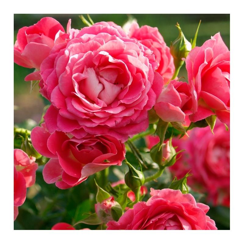 Cerise Flower Circus ®