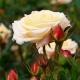 Corinna Flower Circus®