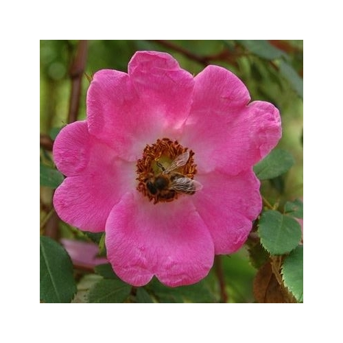 Rosa sweginzowii 'Macrocarpa'  (Pracht-Hagebuttenrose)