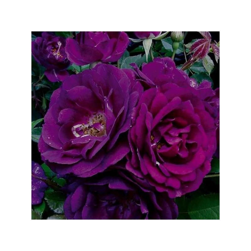Royal Celebration ® (WEKbiphitson) - fioletowa róża rabatowa