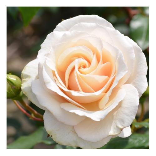 Eloise róża pnąca o kremowych kwiatach