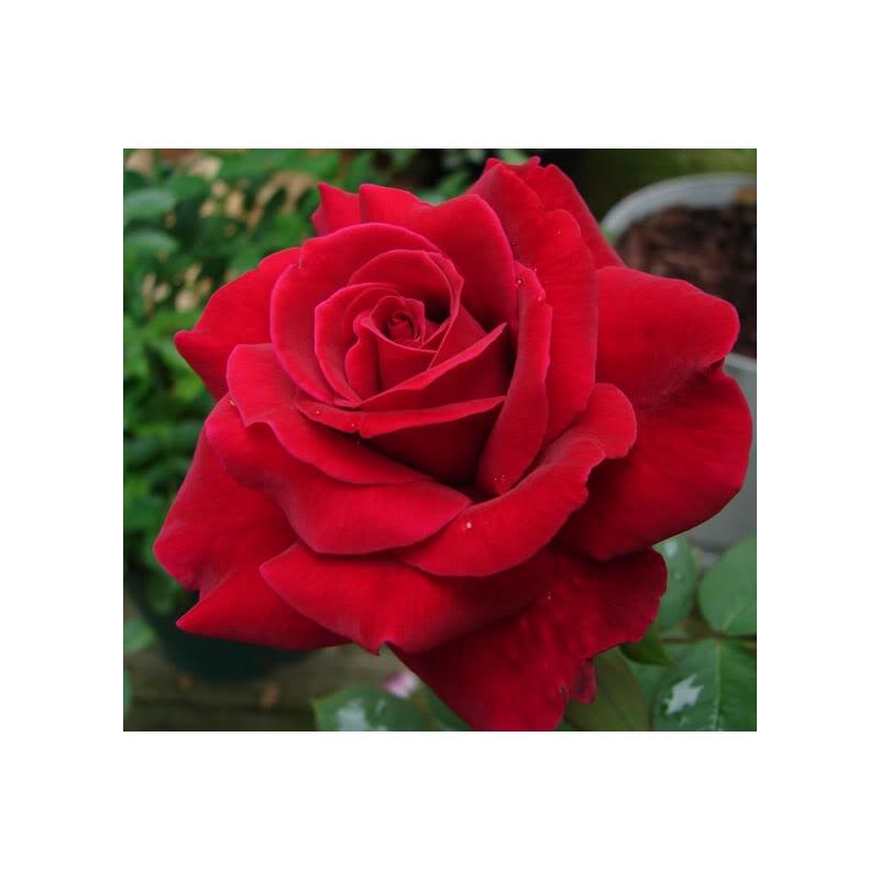Grimpant Le Grand Huit®  Red Flame ®  (ADAbaring)
