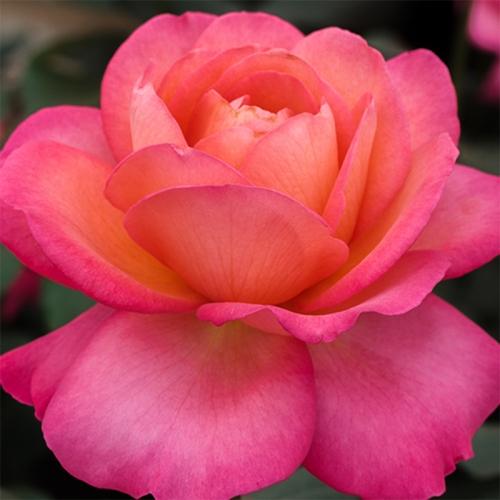 Jazz Festival ® oszałamiająca róża wielkokwiatowa