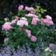 Mary Rose (AUSmary) najsłynniejsza róża angielska