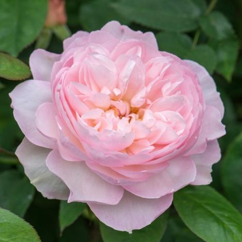 Gentle Hermione  (AUSrumba) tęczowa róża angielska