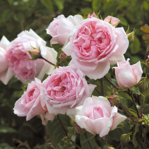 The Wedgwood Rose ®  (AUSjosiah)