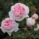 The Wedgwood Rose (AUSjosiah)