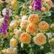 Crown Princess Margareta (AUSwinter)