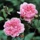 Sister Elizabeth  (AUSpalette) niska róża angielska