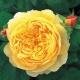 Charles Darwin ® (Auspeet) żółta róża angielska