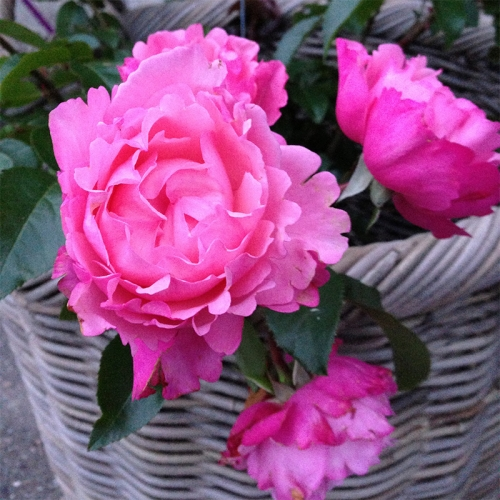 I have a dream™ róża rabatowa o karbowanych płatkach