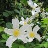 Rosa paulii  (Rosa rugosa repens alba)