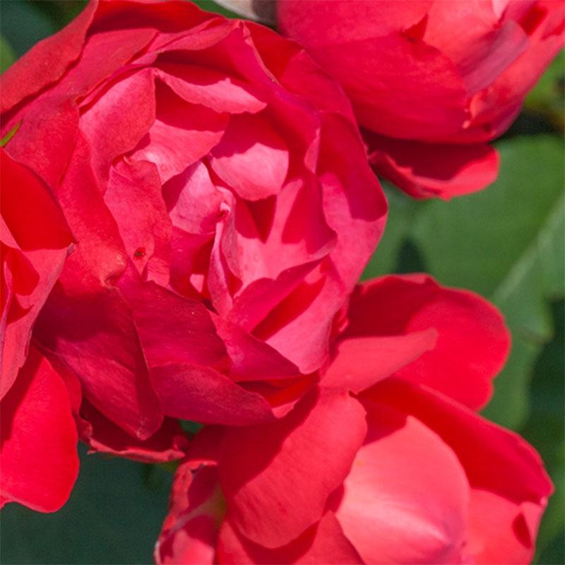 Cherry Bonica ® (MEIpeporia) róża rabatowa o malinowych kwiatach
