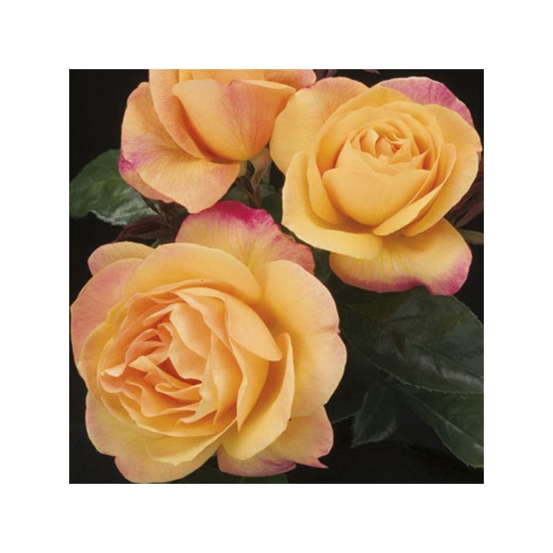 Strike It Rich ® WEKbepmey mrozoodporna róża amerykańska