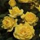 Ch-Ching! ®  WEKyesir zółta róża amrykańska