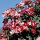 Fourth of July®  Hanabi®  WEKroalt róża pnąca w paski