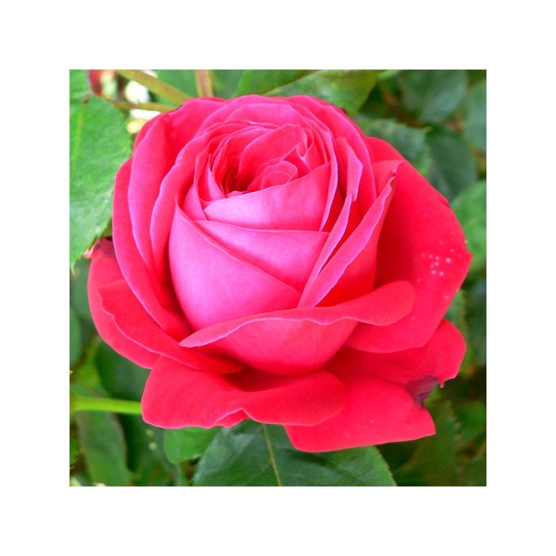 Dame de Coeur  'Herz-Dame' pachnąca róża wielkokwiatowa