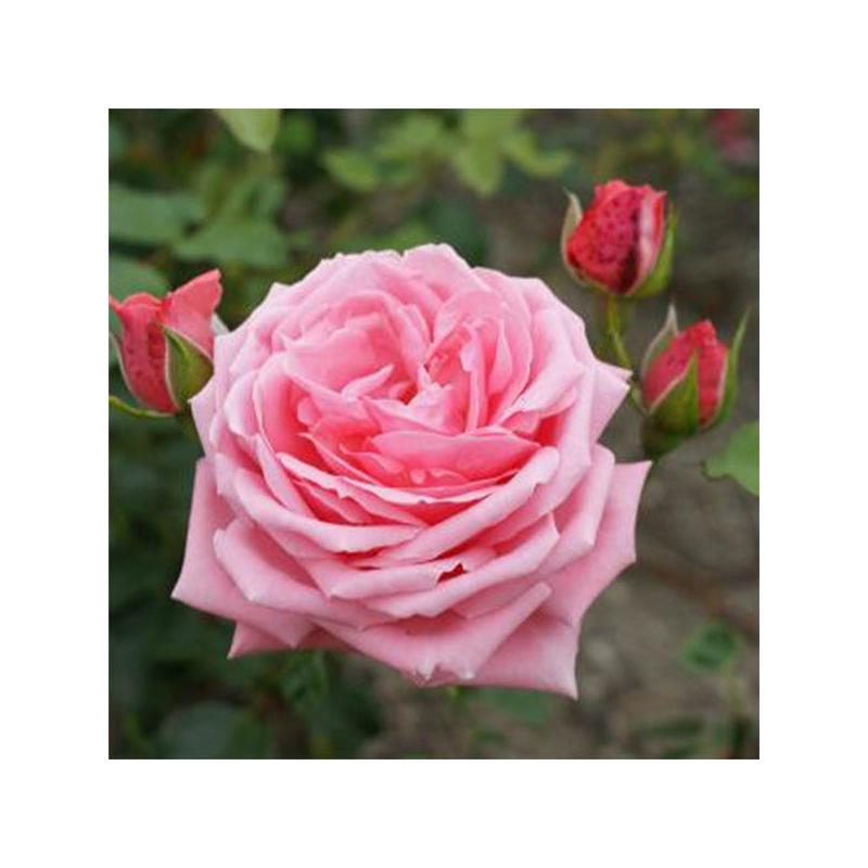 Coral Dawn róża pnąca