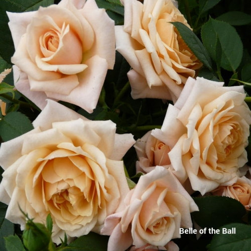 Belle of the Ball®  HARping