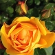 Convention Rose (G10-334)