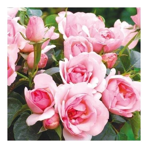 Centenaire de Lourdes Rose (DELge)