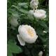 Glamis Castle (AUSlevel) biała róża pnąca