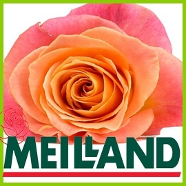 Roses from Meilland