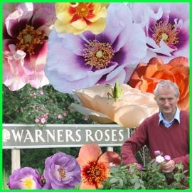 Růže Warner