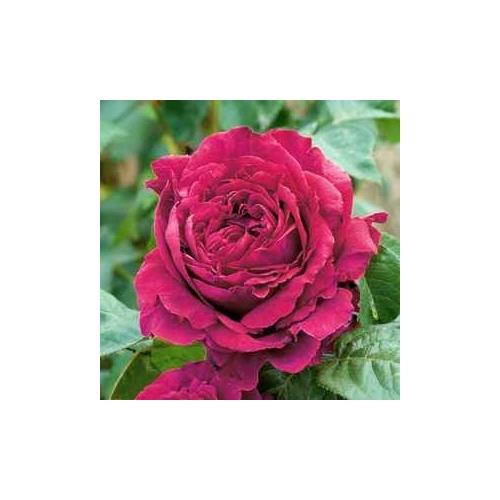 Rose des 4 Vents (DELroufra)