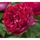 Red Eden Rose  (MEIdrason)