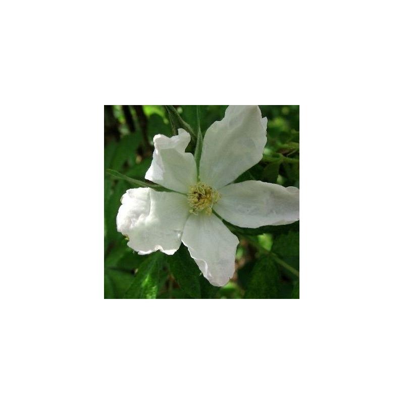 Adiantifolia