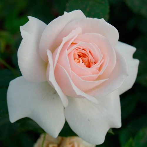Cream Flower Circus ®  (Garden of Roses®)
