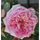 Rose vom Ruhrtal ®