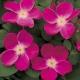 Pink Home Run® (WEKphorn)