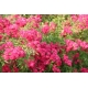 Red Passion ®  mnóstwo kwiatów róża piżowa